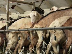 Curious Goat - Achadinha Dairy